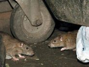Lassa fever: Group to buy rats from Lagosians