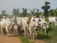 YCE rejects cattle colony, grazing reserves in Yorubaland