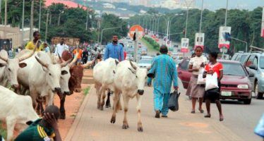 EDITORIAL- We fully support ban on cattle grazing in FCT