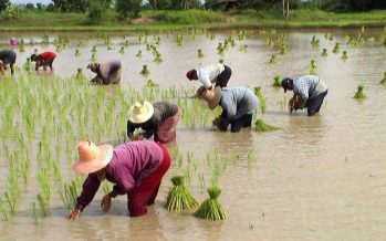 Thailand rice- ignored at home, consumed in Nigeria