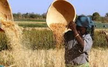 5,000 wheat farmers register for CBN anchor borrower programme in Kano